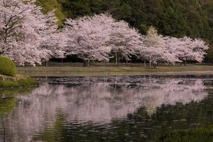 満開のソメイヨシノ(奈良県下北山村、スポーツ公園)の写真素材 [FYI04850133]