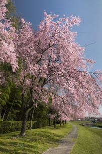 満開の紅八重枝垂桜(兵庫県加東市、千鳥川桜堤公園)の写真素材 [FYI04850143]