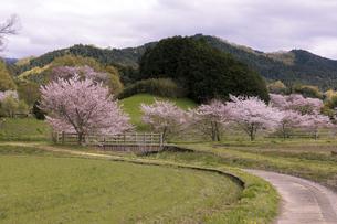 桜咲く農村風景(奈良県明日香村)の写真素材 [FYI04850147]