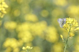 菜の花にとまるモンシロチョウの写真素材 [FYI04850235]