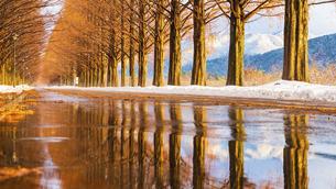 冬のメタセコイア並木の写真素材 [FYI04850281]