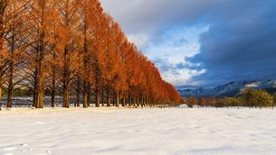 冬のメタセコイア並木の写真素材 [FYI04850284]