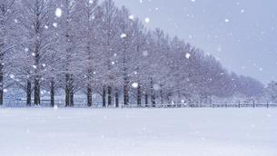 冬のメタセコイア並木の写真素材 [FYI04850288]