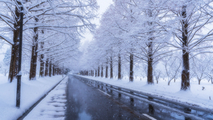 冬のメタセコイア並木の写真素材 [FYI04850291]