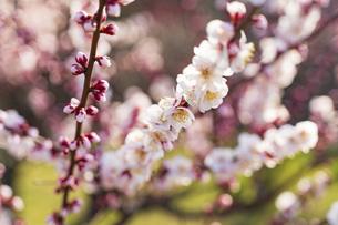 大阪城公園の梅林の写真素材 [FYI04850333]