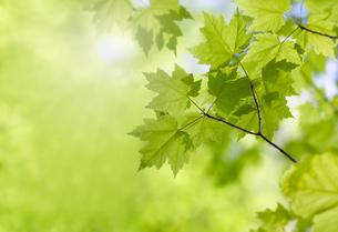 新緑のカエデの葉のクローズアップの写真素材 [FYI04850449]