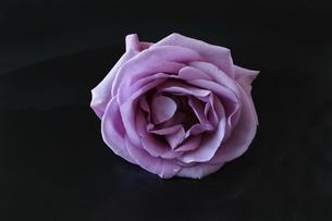 ピンクの薔薇の花首の写真素材 [FYI04850853]