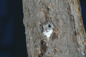巣穴から顔を出すエゾモモンガ(北海道・芽室町)の写真素材 [FYI04850940]
