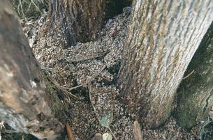 エゾモモンガの糞(北海道・芽室町)の写真素材 [FYI04850941]