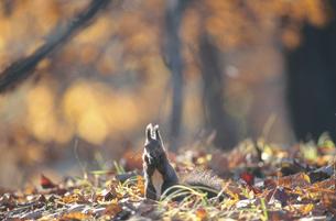 秋の森で餌を食べるエゾリス(北海道・音更町)の写真素材 [FYI04850944]