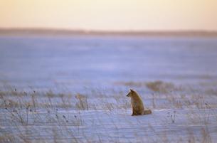 夕陽の雪原とキタキツネ(北海道・野付半島)の写真素材 [FYI04850958]