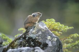 岩の上のエゾナキウサギ(北海道・鹿追町)の写真素材 [FYI04850963]