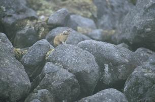 岩の上で鳴くエゾナキウサギ(北海道・鹿追町)の写真素材 [FYI04850964]