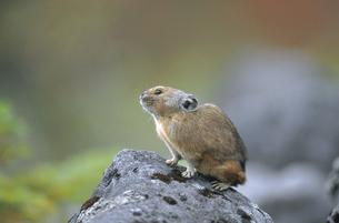 岩の上のエゾナキウサギ(北海道・鹿追町)の写真素材 [FYI04850965]