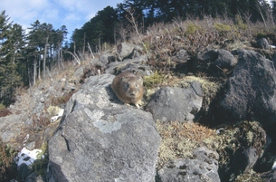 ガレ場のエゾナキウサギ(北海道・鹿追町)の写真素材 [FYI04850966]