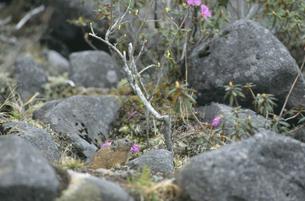 エゾムラサキツツジを食べるエゾナキウサギ(北海道・鹿追町)の写真素材 [FYI04850967]