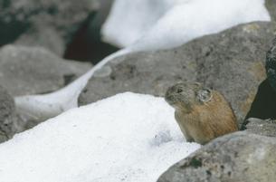 雪の中に顔を出すエゾナキウサギ(北海道・鹿追町)の写真素材 [FYI04850968]