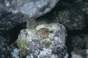 エゾナキウサギの糞(北海道・鹿追町)の写真素材 [FYI04850970]
