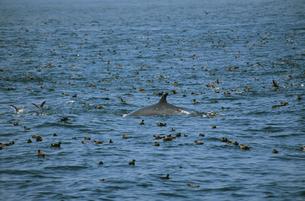 水鳥の群とミンククジラ(北海道・知床)の写真素材 [FYI04850975]