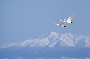 斜里岳をバックに飛ぶオオハクチョウ(北海道・小清水町)の写真素材 [FYI04850978]