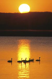 夕日とオオハクチョウ(北海道・標茶町)の写真素材 [FYI04850979]