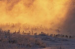 けあらしの湧き立つオオハクチョウのねぐら(北海道・幕別町)の写真素材 [FYI04850983]
