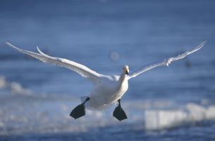 着水するオオハクチョウ(北海道・小清水町)の写真素材 [FYI04850985]