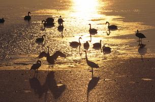 夕陽とオオハクチョウ(北海道・標茶町)の写真素材 [FYI04850986]