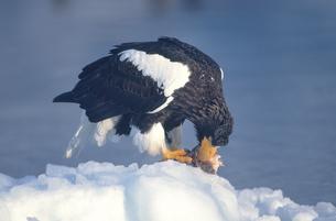 流氷上で魚を食べるオオワシ(北海道・知床)の写真素材 [FYI04850987]