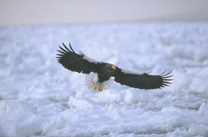 流氷上を飛ぶオオワシ(北海道・知床)の写真素材 [FYI04850988]