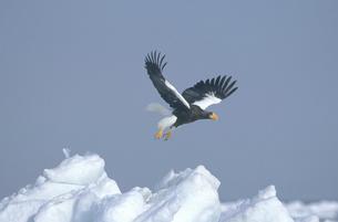 流氷から飛び立つオオワシ(北海道・知床)の写真素材 [FYI04850989]