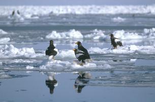 流氷上に群れるオオワシ(北海道・知床)の写真素材 [FYI04850990]