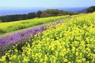 あわじ花さじき 菜の花とムラサキハナナの写真素材 [FYI04851109]