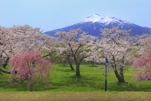 岩木川河川公園の桜と岩木山の写真素材 [FYI04851197]