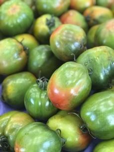 台湾産の青トマトの写真素材 [FYI04851326]