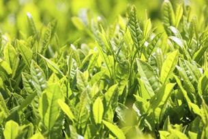 春の日本茶畑の写真素材 [FYI04851710]