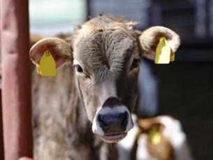 子牛の写真素材 [FYI04851721]