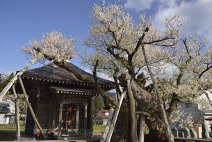 置賜桜回廊 薬師桜の写真素材 [FYI04851734]