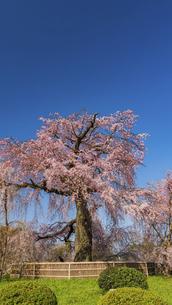 円山公園  シダレザクラの写真素材 [FYI04852174]