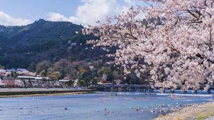 京都 桜の季節の嵐山 渡月橋の写真素材 [FYI04852235]