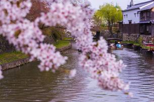滋賀 八幡堀と桜の写真素材 [FYI04852342]