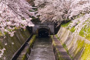 滋賀 桜と琵琶湖疏水の写真素材 [FYI04852362]