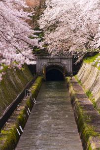 滋賀 桜と琵琶湖疏水の写真素材 [FYI04852370]