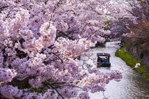 滋賀 八幡堀と桜の写真素材 [FYI04852635]