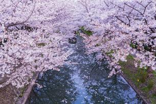 京都 伏見 桜と十石舟の写真素材 [FYI04852655]