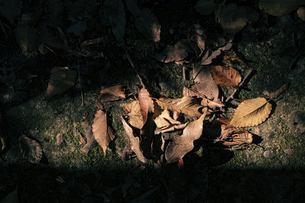 【秋】地面に落ちた落ち葉の様子 自然風景の写真素材 [FYI04852698]