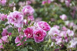 薔薇園の薔薇の写真素材 [FYI04852904]