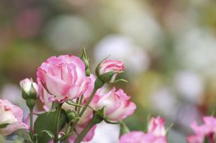 薔薇園の薔薇の写真素材 [FYI04852905]