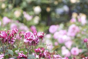 薔薇園の薔薇の写真素材 [FYI04852906]