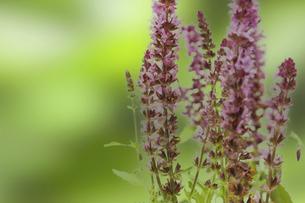 花壇に植えられたサルビア・ネモローサの写真素材 [FYI04852909]